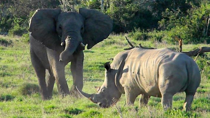Un elefante intenta jugar con un tenso rinoceronte