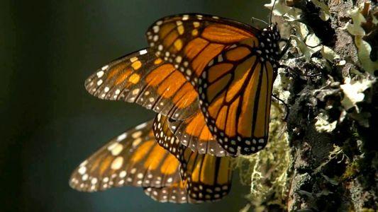Mariposas monarcas viajan a este santuario cada invierno