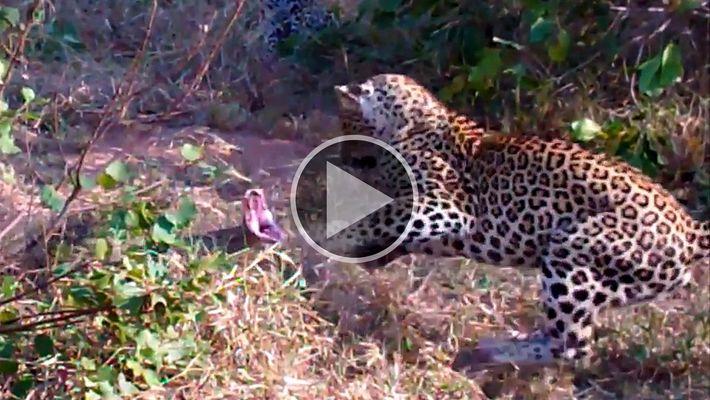Dos leopardos se enfrentan a una pitón