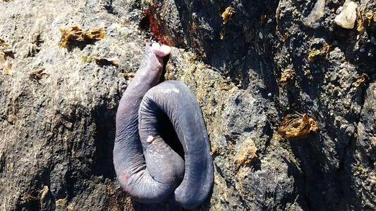 Una de las criaturas más raras del mundo captada en video en Chile