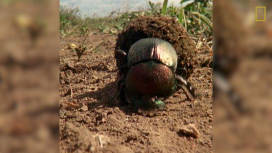 La importancia del excremento para los escarabajos peloteros