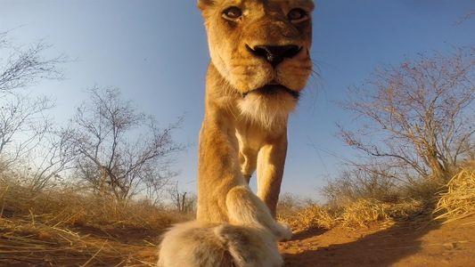 Esto es lo que verías si un león te mordiera