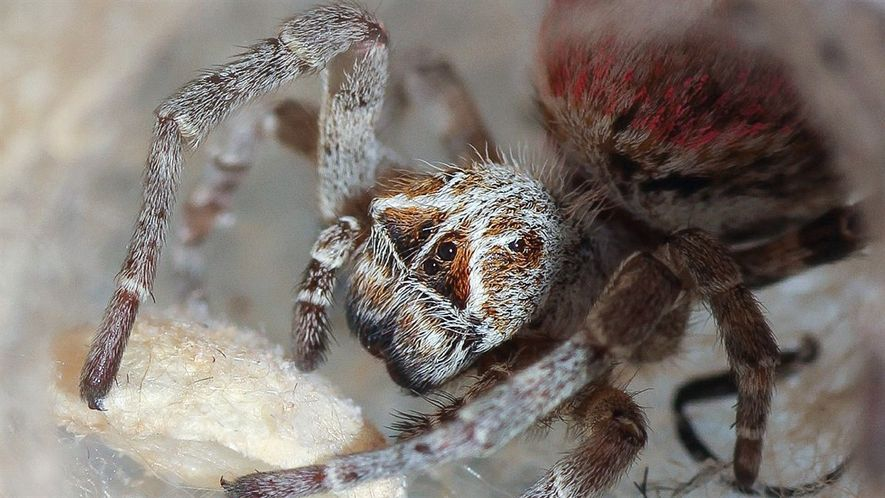 Estas arañas se comen los cuerpos muertos de sus madres