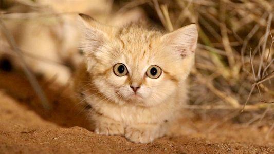 Gatitos del desierto grabados por primera vez en estado salvaje