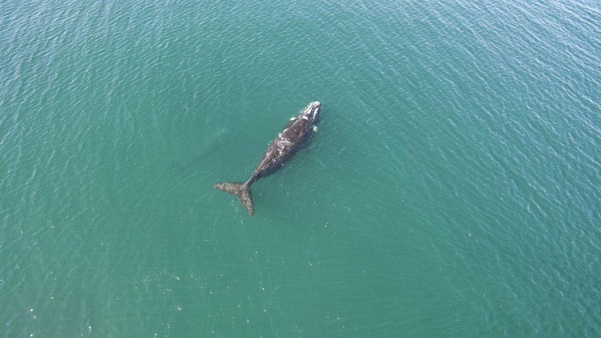 """""""El gran tamaño de la ballena permite localizarla con facilidad desde el aire. Su ballenato, aún ..."""