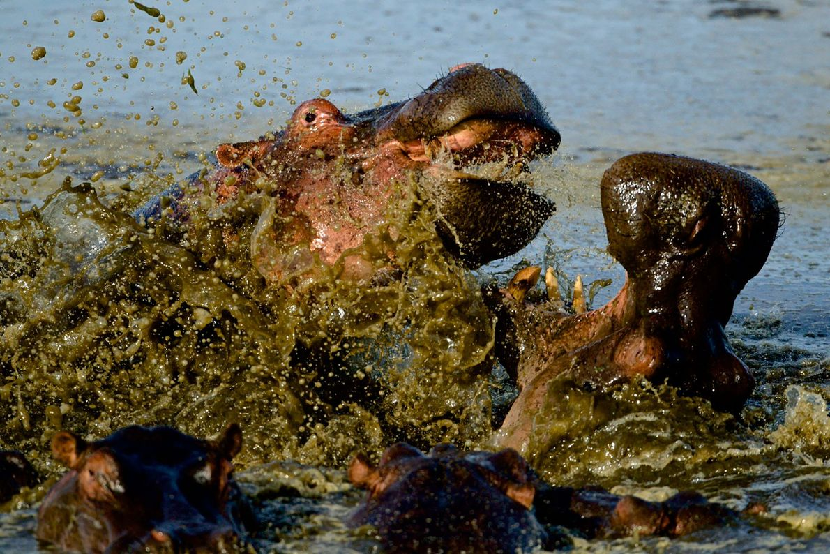 Hipopótamos contienden en Masai Mara, Kenia.