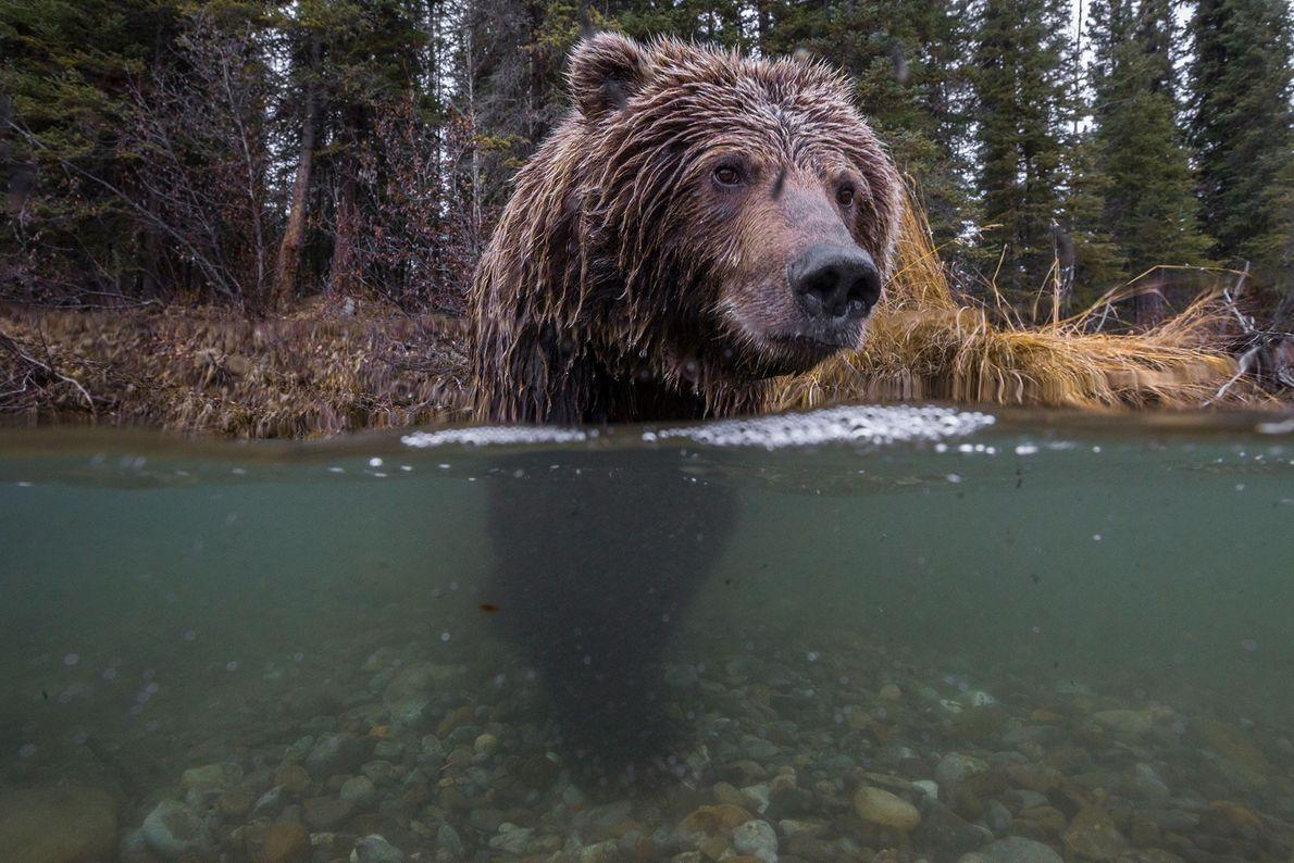 Un oso pardo pesca el salmón en el río Fishing Branch en el territorio de Yukon, ...
