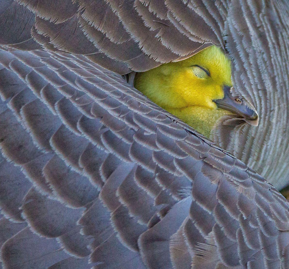 Un ganso se esconde bajo el ala de su madre a lo largo de la orilla ...