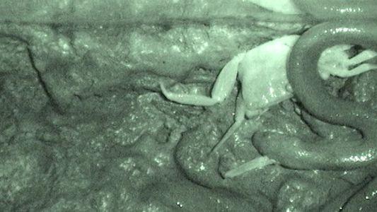Imágenes Fuertes: Esta serpiente come a su presa de una forma extraña