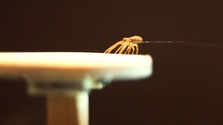 """Descubre a la araña que usa su tela para """"volar"""" en este curioso video"""