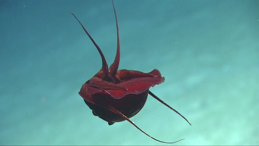 Misterioso calamar de aguas profundas descubierto en el Golfo de México