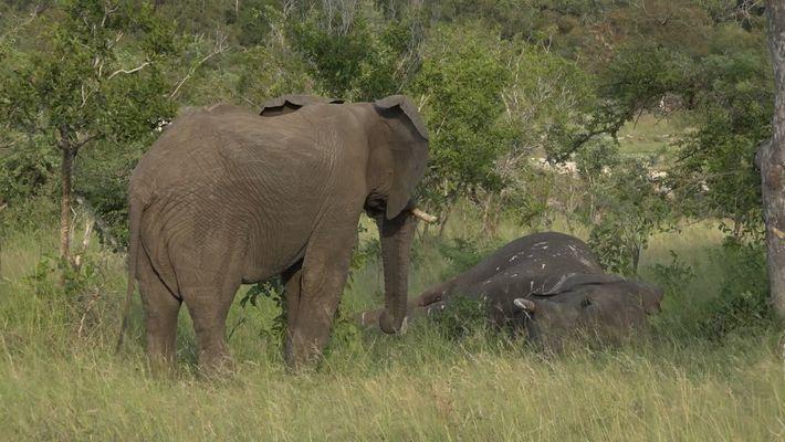 Un raro video muestra a elefantes llorando la muerte de un compañero