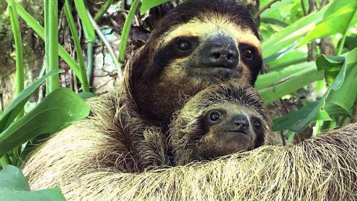 Rescatistas reúnen a oso perezoso bebé con su mamá en Costa Rica