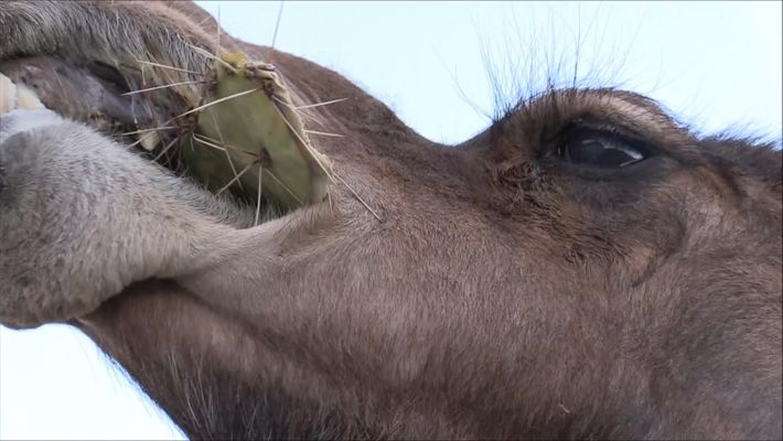 A estos camellos no les molestan las espinas en sus bocadillos de cactus
