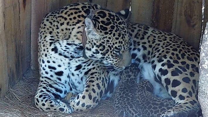 Cachorros de jaguar nacen en esta reserva argentina por primera vez en 100 años