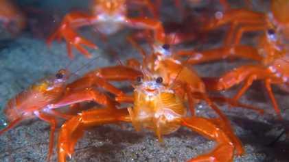 """Pequeños """"cangrejos de atún"""" invaden las playas de California más allá del rango """"normal"""""""