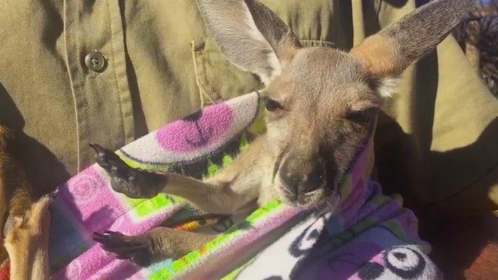Un bebé canguro rescatado descansa en una bolsa hecha a mano