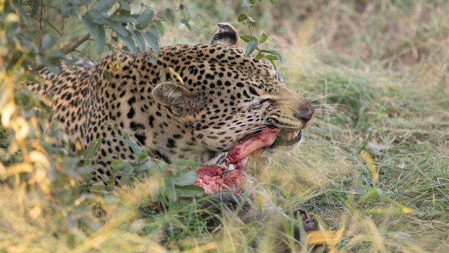 Un raro video de un leopardo jugando con los huesos de su presa