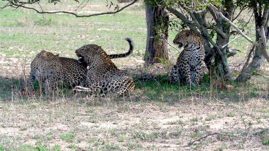 Raro video de dos hermanas leopardo apareándose con el mismo macho