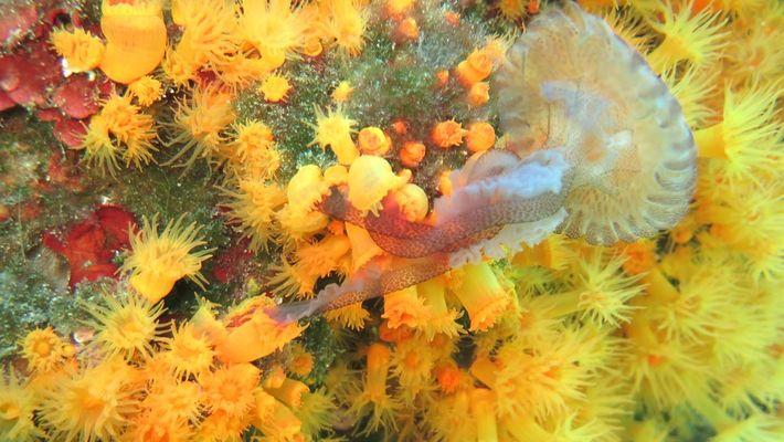 Corales colaboran entre sí para comer medusas en un video nunca antes visto