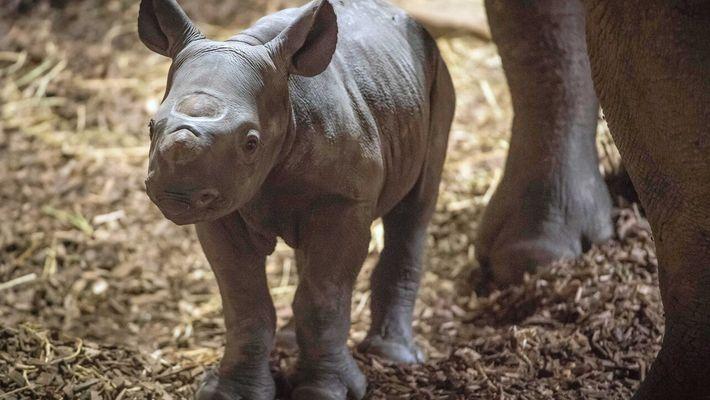 Conoce a un rinoceronte negro oriental en peligro de extinción
