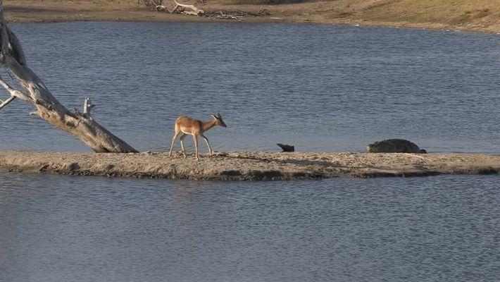 Impala intenta escapar de un cocodrilo... luego un hipopótamo aparece