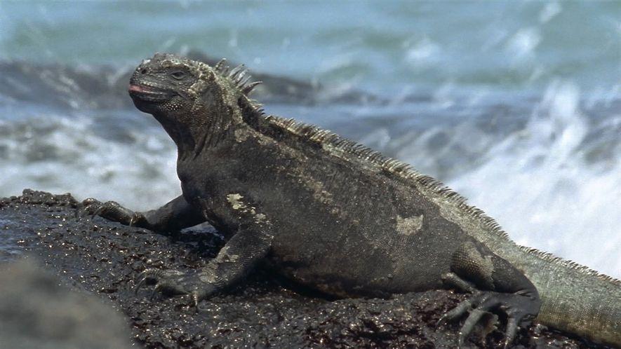 La iguana marina, el único lagarto que nada