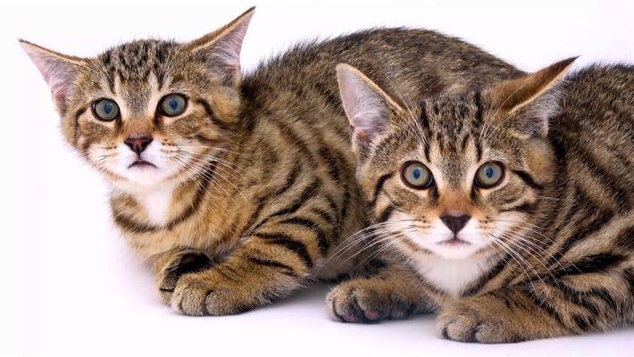 El gato montés escocés se está extinguiendo ¿Podemos evitarlo?