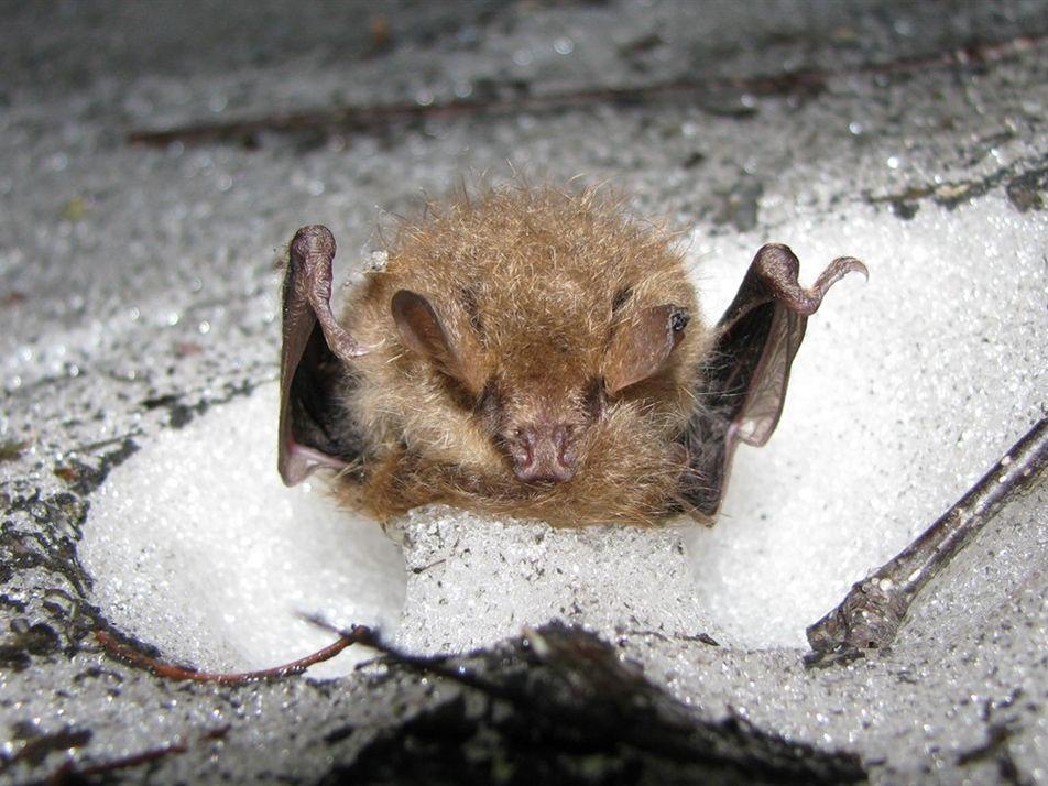 Raro video de  murciélagos que hibernan en madrigueras de nieve