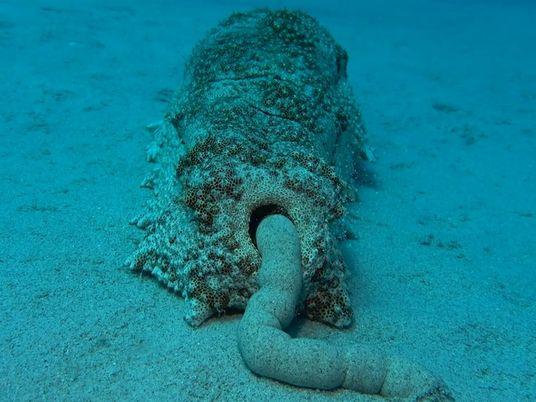 El excremento de los pepinos de mar beneficia el ecosistema