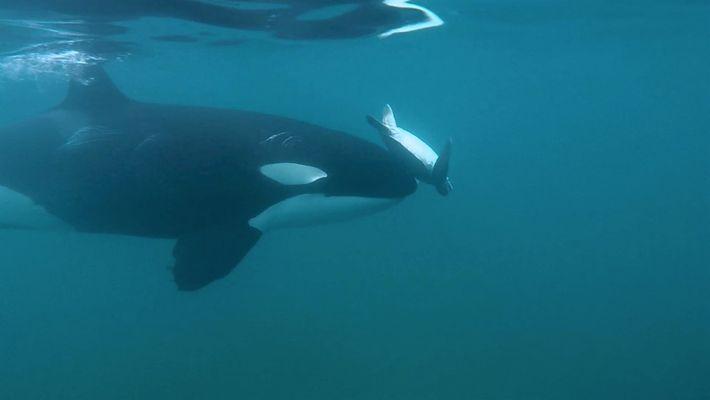 """Mira: ¿Por qué una orca hace girar una tortuga marina con su """"nariz""""?"""