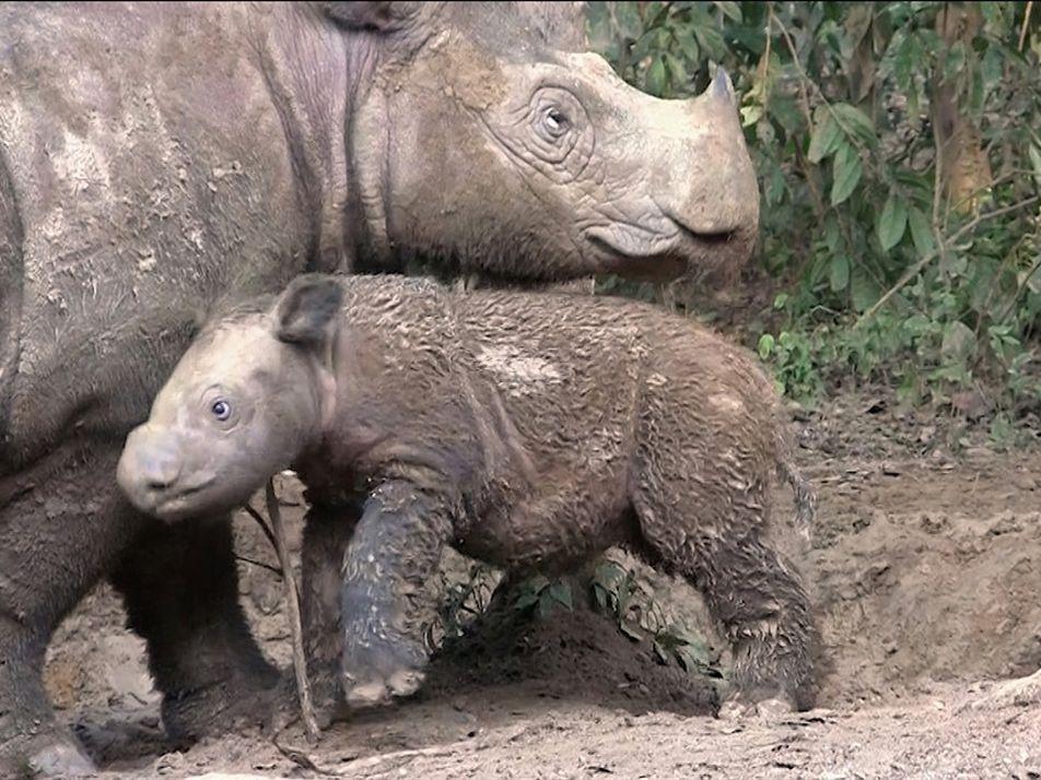 Se lanza un nuevo plan para salvar a los rinocerontes de Sumatra de la extinción