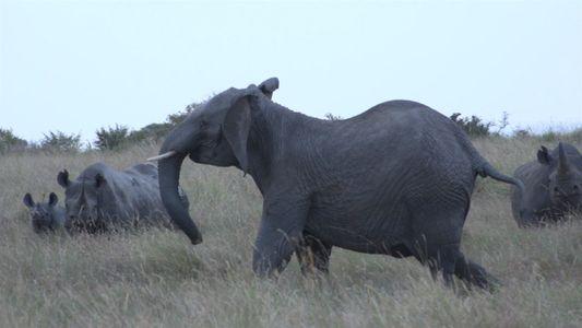 Mira: Rinocerontes negros se enfrentan a leones y elefantes