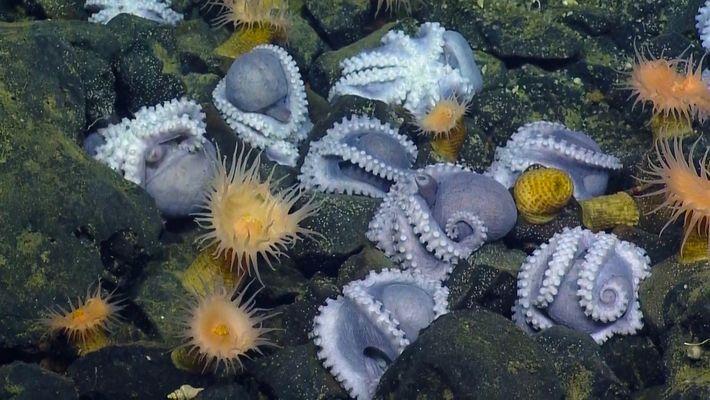 """Observa a 1.000 """"madres pulpo"""" en el criadero de pulpos de aguas profundas más grande del ..."""