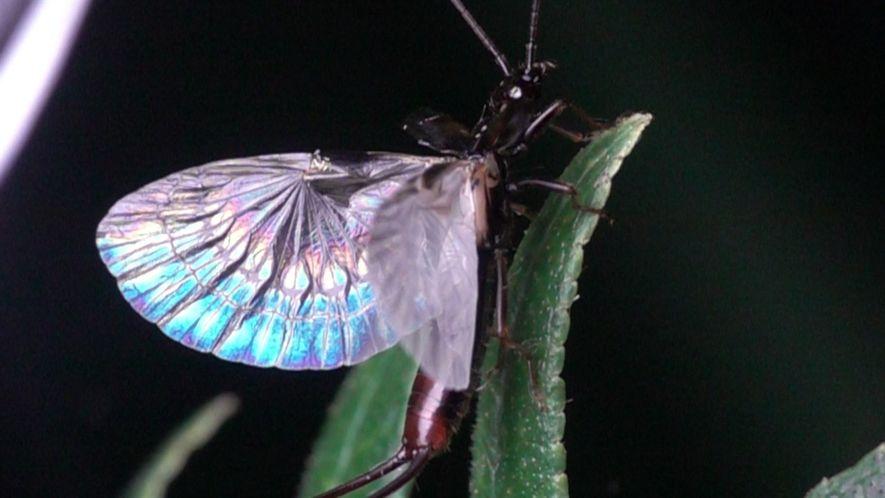 Mira cómo una tijereta despliega sus espectaculares alas