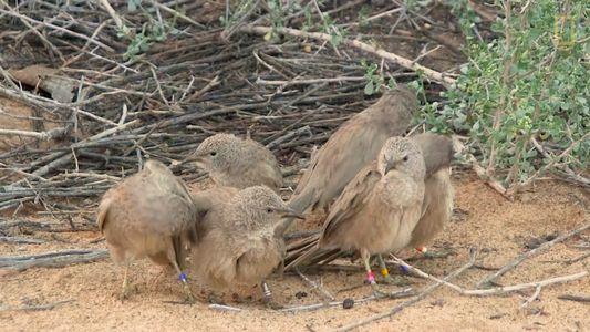¿Por qué estas aves esconden sus citas sexuales?
