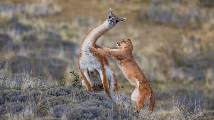 Una batalla entre un puma y un guanaco finaliza de manera inesperada