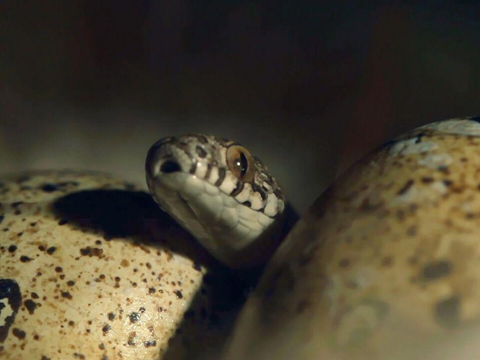 Esta serpiente devora huevos mucho más grandes que su cabeza | Sudafrica: Supervivencia al limite