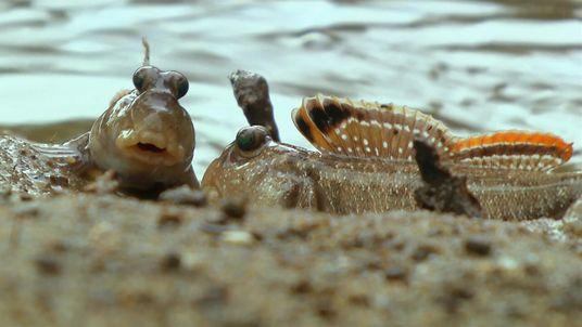 Feroz lucha entre estos peces que respiran aire | Sudafrica: Supervivencia al limite