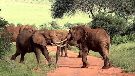 Cinco elefantes luchan usando sus colmillos