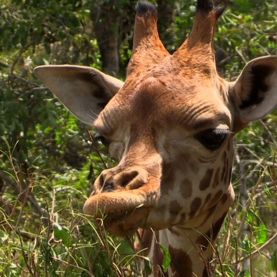 Jirafas en Uganda son trasladadas lejos de cazadores furtivos | Uganda Salvaje: Peligros del Paraíso