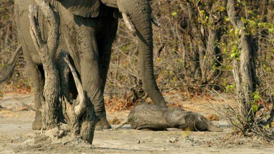Una elefanta despide el cuerpo de su cría   Planeta Hostil: África