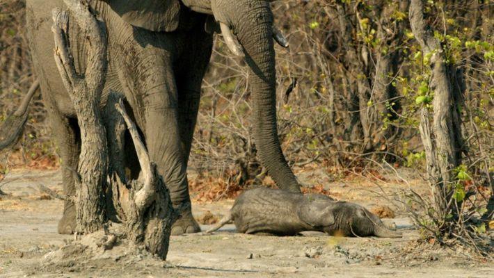 Una elefanta despide al cuerpo de su cría | Planeta Hóstil: África