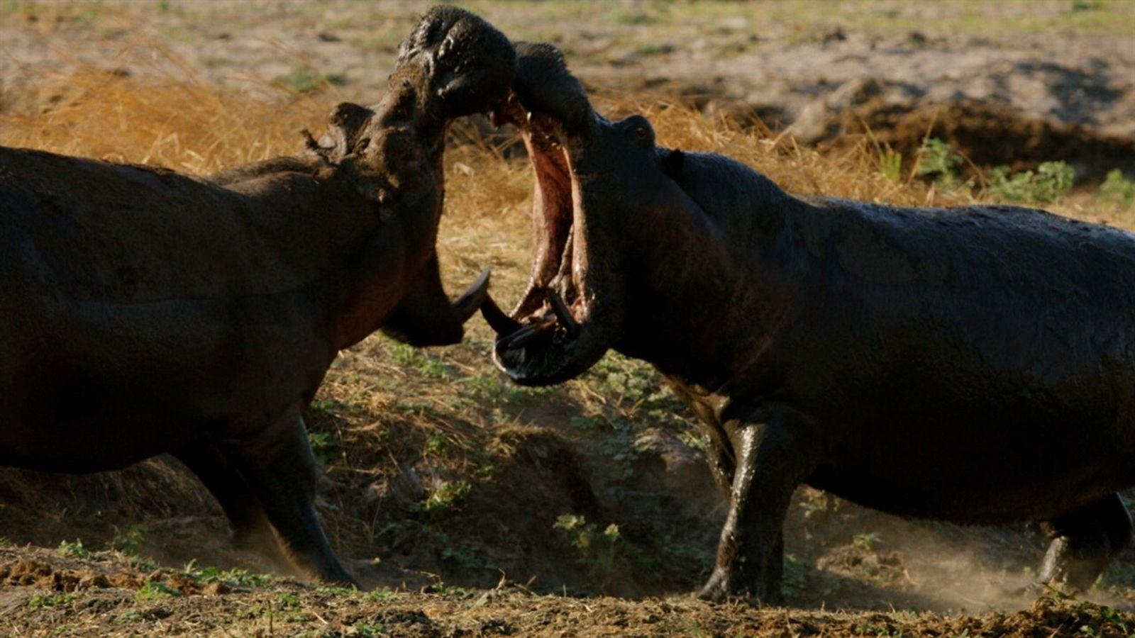Feroz lucha entre dos hipopótamos