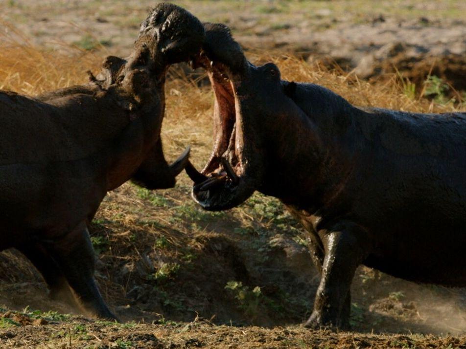 Feroz lucha entre dos hipopótamos   Planeta Hostil: África