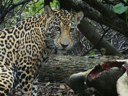 Jaguares en peligro: tráfico ilegal amenaza a la especie