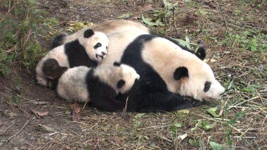"""Las pandas """"enamoradas"""" son más propensas a tener cachorros"""