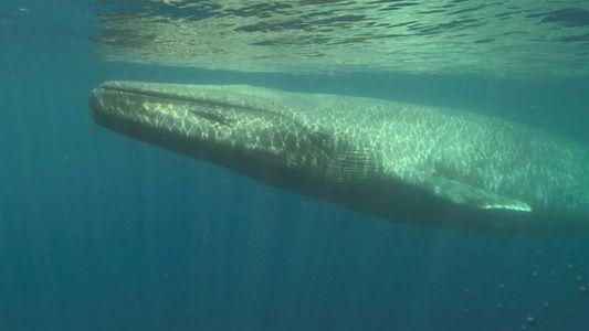 Las ballenas azules estuvieron cerca de su extinción por estas prendas de moda