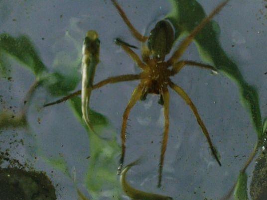 Esta araña camina sobre el agua para cazar a sus presas   Los más raros del ...