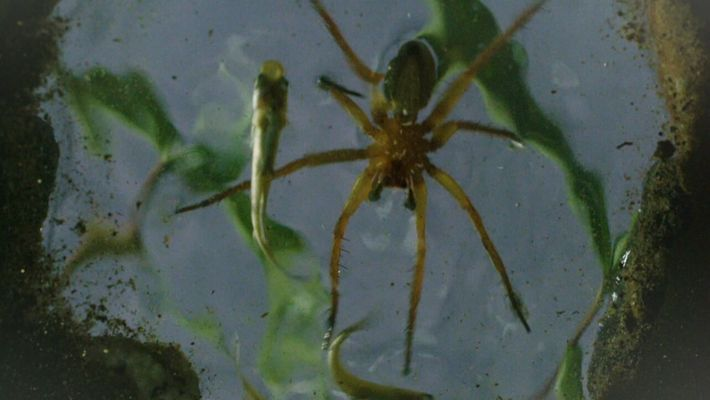 Esta araña camina sobre el agua para cazar a sus presas | Los más raros del ...